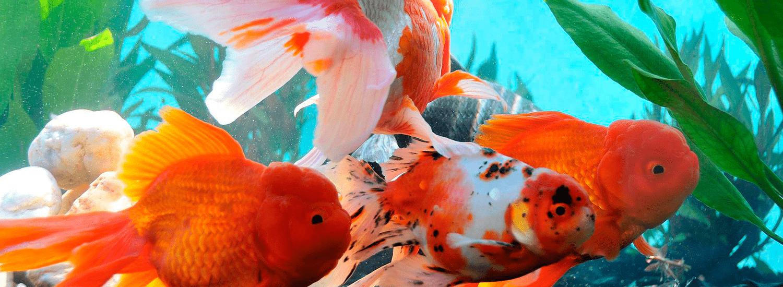 peces-de-la-semana